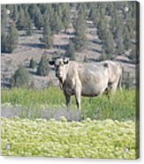 Unusual Colored Cow Acrylic Print