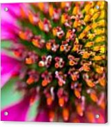 Up Close With A Cone Flower Acrylic Print by Susan Stone