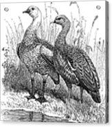 Upland Geese Acrylic Print