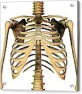Upper Torso Bones, Artwork Acrylic Print