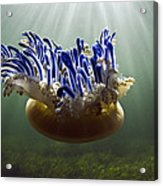 Upside-down Jellyfish Cassiopea Sp Acrylic Print