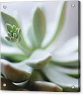 Usa, New Jersey, Jersey City, Close-up Of Succulent Plant Acrylic Print