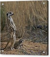 Using Its Tail, An Adult Meerkat Acrylic Print