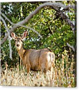 Utah Mule Deer Acrylic Print