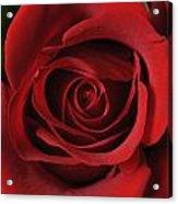 Valentine Rose - Color Acrylic Print
