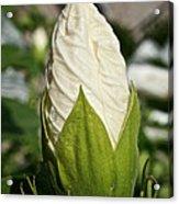 Vanilla Hibiscus Acrylic Print