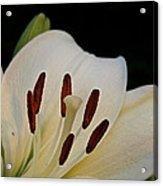 Vanilla Lily Acrylic Print