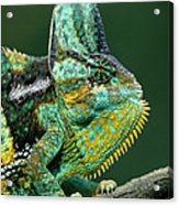 Veiled Chameleon Chamaeleo Calyptratus Acrylic Print by Ingo Arndt