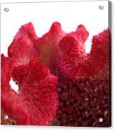 Velvet Bloom Acrylic Print