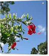 Verigated Leaved Red Hibiscus Acrylic Print