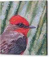 Vermillion Flycatcher Acrylic Print