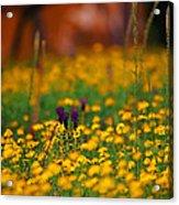Vesuvius Wildflowers Acrylic Print