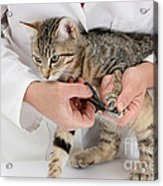 Vet Clipping Kittens Claws Acrylic Print