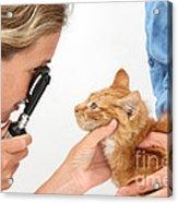 Vet Examining Kitten Acrylic Print