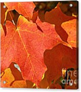 Vibrant Maple Acrylic Print