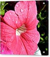 Vibrant Petunias Acrylic Print