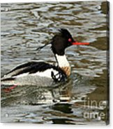 Vibrant Red Breasted Merganser At The Lake Acrylic Print