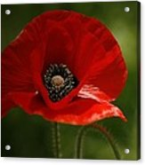 Vibrant Red Oriental Poppy Wildflower Acrylic Print