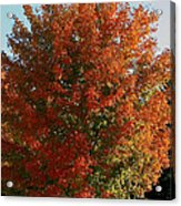 Vibrant Sugar Maple Acrylic Print