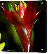 Vibrantly Rich In Red Acrylic Print