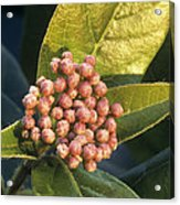 Viburnum Tinus Flower Buds Acrylic Print