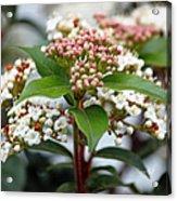 Viburnum Tinus Spring Bouquet Acrylic Print