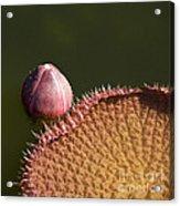 Victoria Amazonica Bud And Leaf Acrylic Print