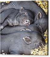 Vietnamese Pot-bellied Piglets Acrylic Print