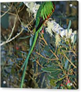 View Of A Male Resplendent Quetzal Acrylic Print