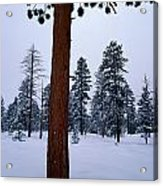 View Of A Ponderosa Pine Surrounded Acrylic Print