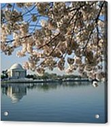 View Of Cherry Blossoms Acrylic Print