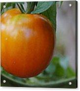 Vine Ripe Tomato Acrylic Print