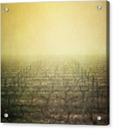 Vineyard In Mist Acrylic Print