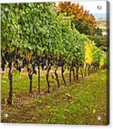 Vineyard Acrylic Print