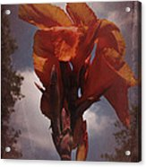Vintage Canna Lily Acrylic Print by Richard Cummings