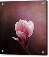Vintage Magnolia Acrylic Print by Jane Rix