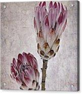 Vintage Proteas Acrylic Print