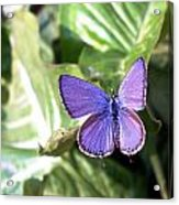 Violet Butterfly Acrylic Print