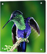 Violet-crowned Woodnymph Thalurania Acrylic Print