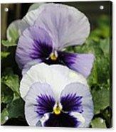 Violet Pansies Flower Acrylic Print