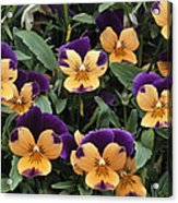 Violets Acrylic Print by Archie Young