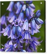 Virginia Bluebells Acrylic Print