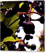 Virginia Creeper Fruit Acrylic Print