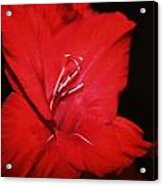 Vision Of Red Acrylic Print by Cathie Tyler