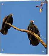Vultures On A Branch Acrylic Print