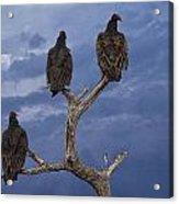 Vultures Perched On A Branch No.0022 Acrylic Print