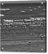 Wading Birds In Flight V4 Acrylic Print