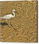 Wading For A Meal Acrylic Print