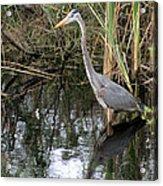 Wading Great Blue Heron Acrylic Print