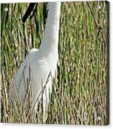 Wading Great Egret Acrylic Print